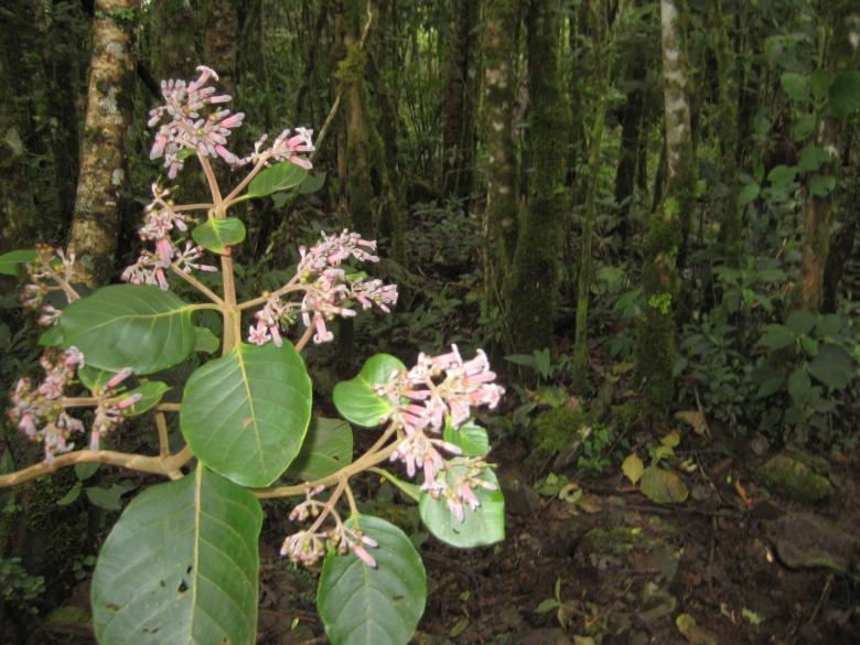 Árbol-de-la-Quina